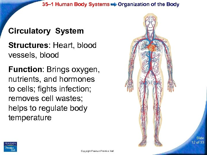 35– 1 Human Body Systems Organization of the Body Circulatory System Structures: Heart, blood