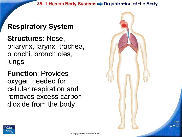 35– 1 Human Body Systems Organization of the Body Respiratory System Structures: Nose, pharynx,