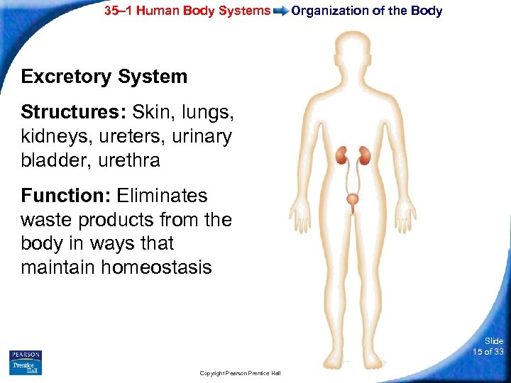 35– 1 Human Body Systems Organization of the Body Excretory System Structures: Skin, lungs,