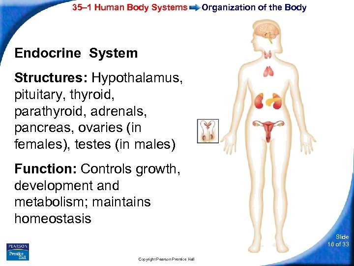35– 1 Human Body Systems Organization of the Body Endocrine System Structures: Hypothalamus, pituitary,