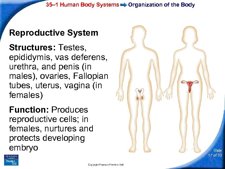 35– 1 Human Body Systems Organization of the Body Reproductive System Structures: Testes, epididymis,