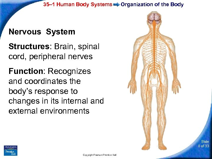 35– 1 Human Body Systems Organization of the Body Nervous System Structures: Brain, spinal