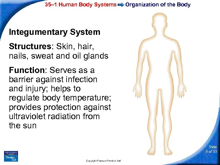 35– 1 Human Body Systems Organization of the Body Integumentary System Structures: Skin, hair,