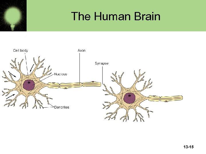 The Human Brain 13 -15