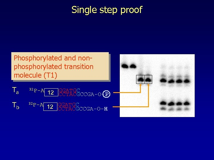 Single step proof Phosphorylated and nonphosphorylated transition molecule (T 1) Ta 32 P-A 12