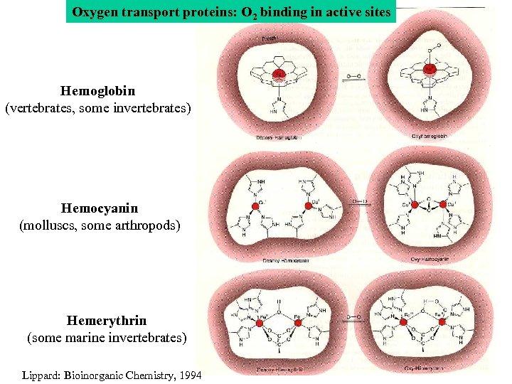 Oxygen transport proteins: O 2 binding in active sites Hemoglobin (vertebrates, some invertebrates) Hemocyanin
