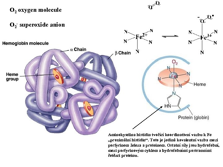 O 2 oxygen molecule O 2 - superoxide anion Aminokyselina histidin tvořící koordinativní vazbu