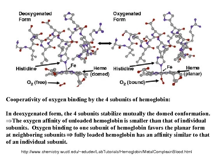 Cooperativity of oxygen binding by the 4 subunits of hemoglobin: In deoxygenated form, the