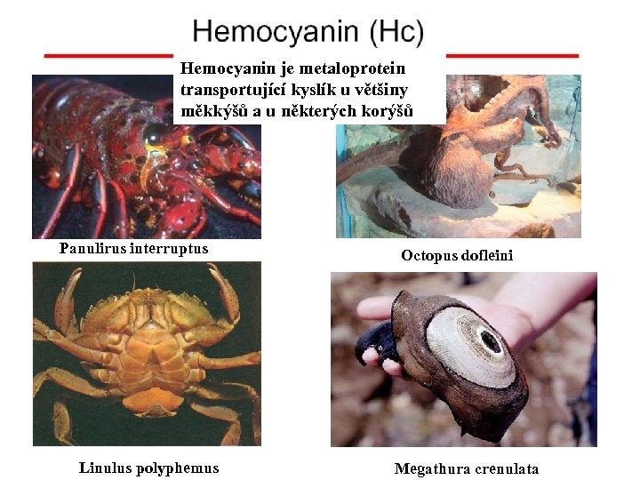 Hemocyanin je metaloprotein transportující kyslík u většiny měkkýšů a u některých korýšů Panulirus interruptus