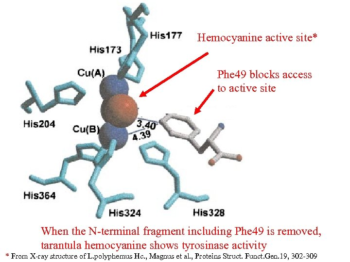 Hemocyanine active site* Phe 49 blocks access to active site When the N-terminal fragment