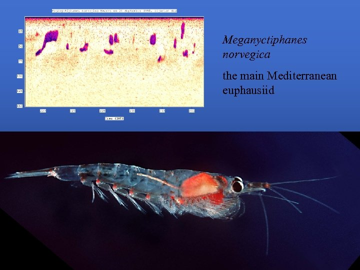 Meganyctiphanes norvegica the main Mediterranean euphausiid