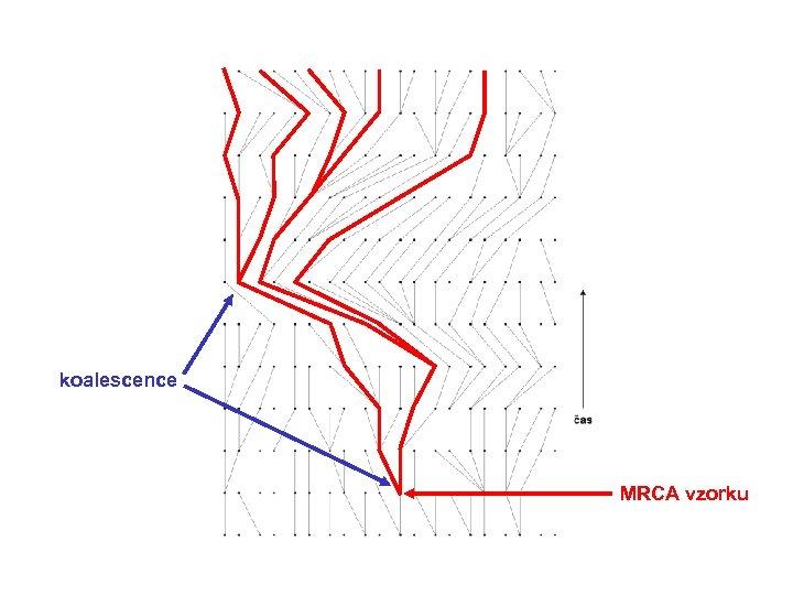 koalescence MRCA vzorku