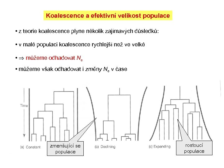 Koalescence a efektivní velikost populace • z teorie koalescence plyne několik zajímavých důsledků: •