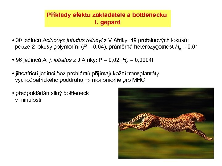 Příklady efektu zakladatele a bottlenecku I. gepard • 30 jedinců Acinonyx jubatus reineyi z