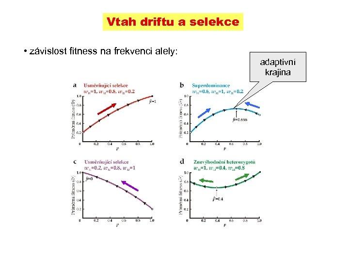 Vtah driftu a selekce • závislost fitness na frekvenci alely: adaptivní krajina