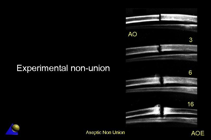AO Experimental non-union 3 6 16 Aseptic Non Union AOE