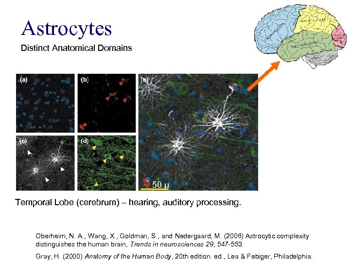 Astrocytes Distinct Anatomical Domains 50 μ Temporal Lobe (cerebrum) – hearing, auditory processing. Oberheim,