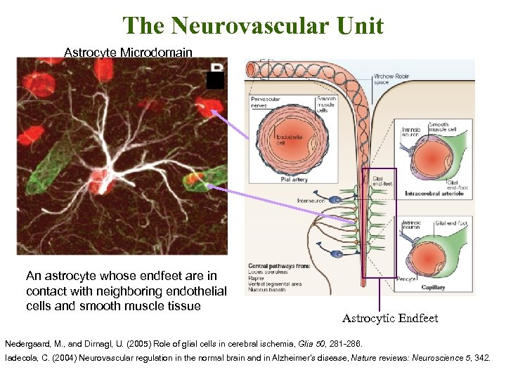 The Neurovascular Unit Astrocyte Microdomain An astrocyte whose endfeet are in contact with neighboring