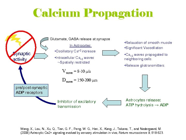 Calcium Propagation Glutamate, GABA release at synapse In Astrocytes: Synaptic activity • Oscillatory Ca+2