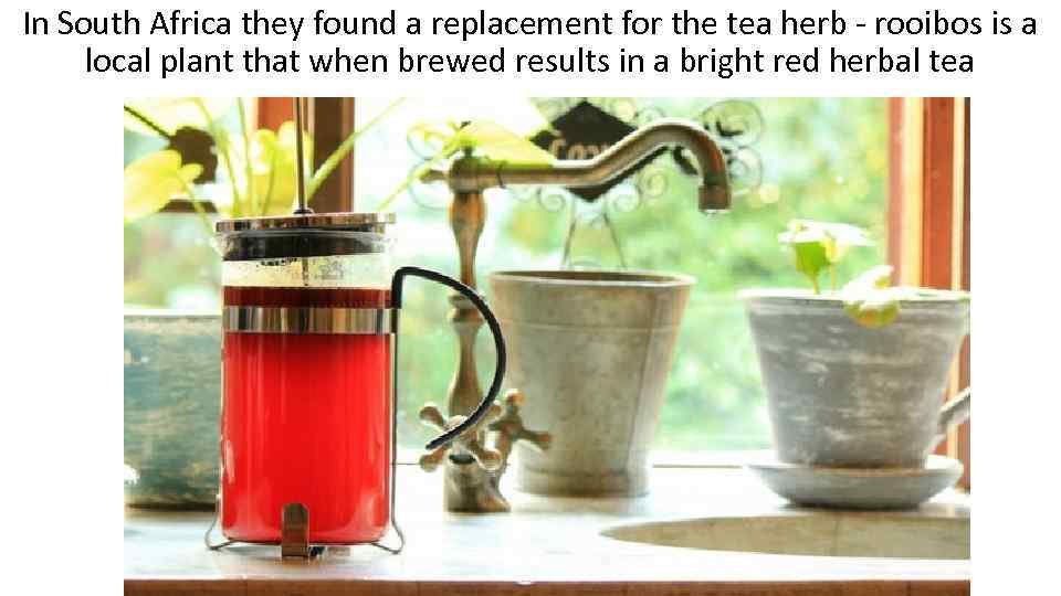 In South Africa they found a replacement for the tea herb - rooibos is