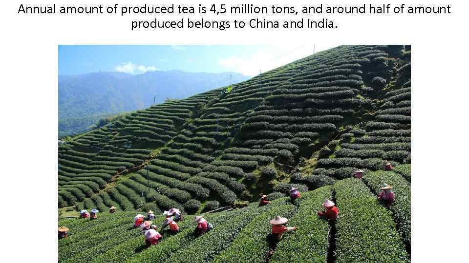 Annual amount of produced tea is 4, 5 million tons, and around half of