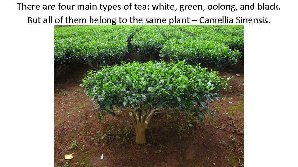 There are four main types of tea: white, green, oolong, and black. But all