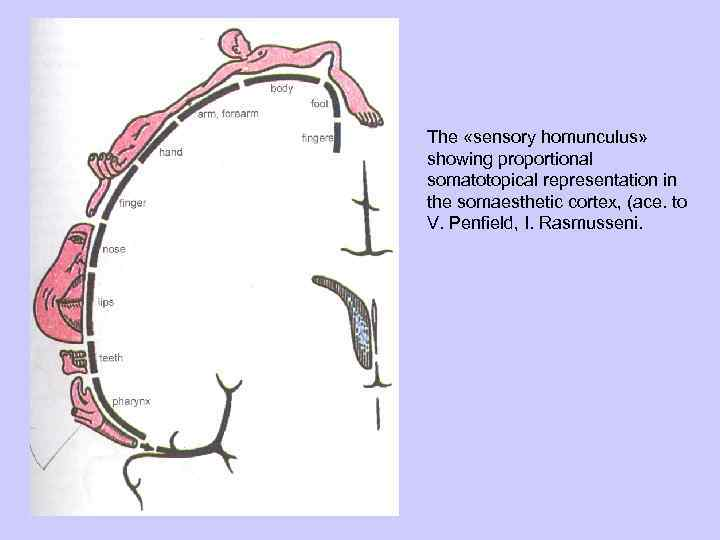 The «sensory homunculus» showing proportional somatotopical representation in the somaesthetic cortex, (ace. to V.