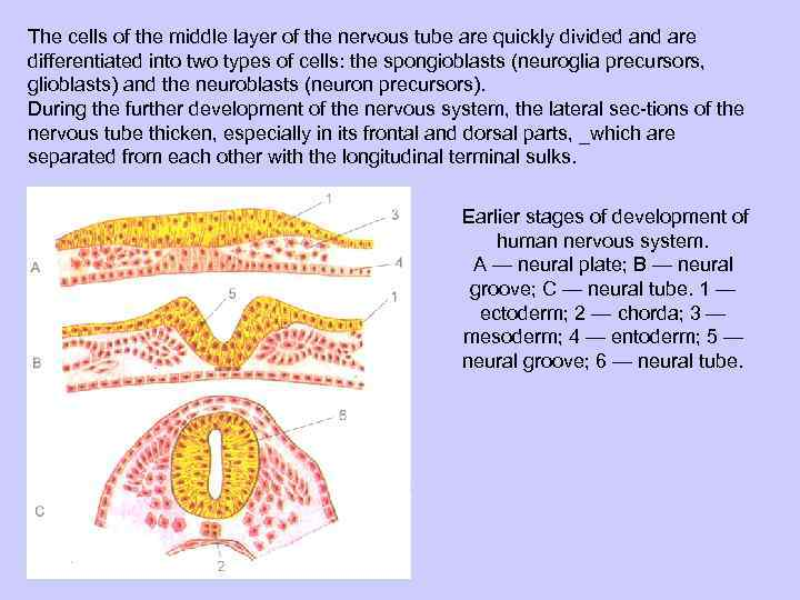 The cells of the middle layer of the nervous tube are quickly divided and