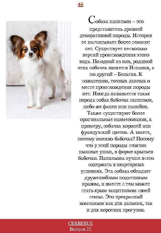 46 Собака папильон – это представитель древней декоративной породы. История ее насчитывает более семисот