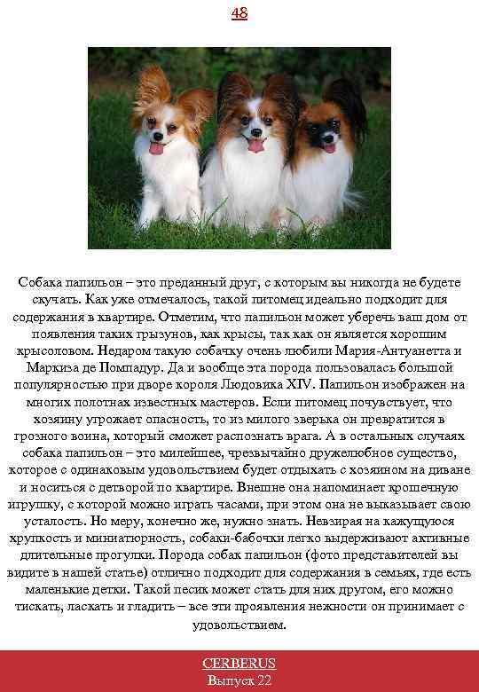 48 Собака папильон – это преданный друг, с которым вы никогда не будете скучать.