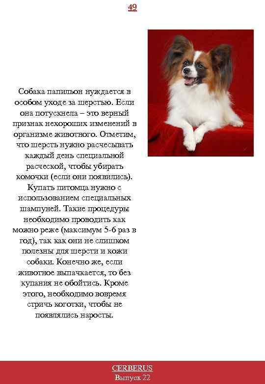 49 Собака папильон нуждается в особом уходе за шерстью. Если она потускнела – это