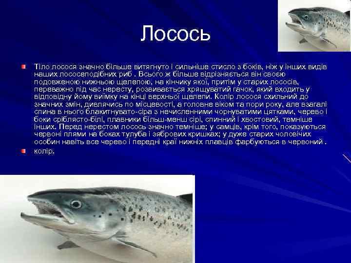 Лосось Тіло лосося значно більше витягнуто і сильніше стисло з боків, ніж у інших
