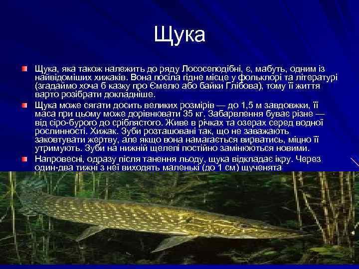 Щука, яка також належить до ряду Лососеподібні, є, мабуть, одним із найвідоміших хижаків. Вона