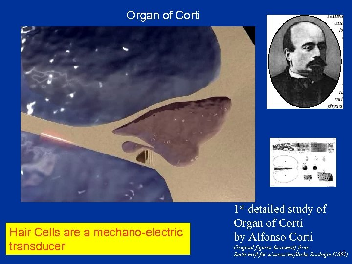 Organ of Corti Hair Cells are a mechano-electric transducer 1 st detailed study of