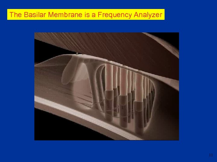 The Basilar Membrane is a Frequency Analyzer 11