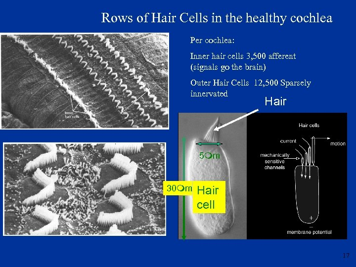 Rows of Hair Cells in the healthy cochlea Per cochlea: Inner hair cells 3,