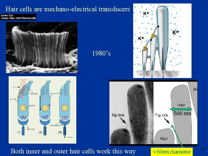 Hair cells are mechano-electrical transducers 1980's 500 nm Both inner and outer hair cells