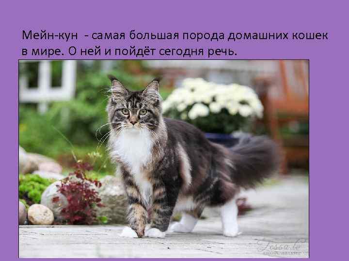 Мейн-кун - самая большая порода домашних кошек в мире. О ней и пойдёт сегодня
