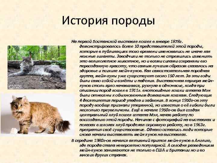 История породы На первой Бостанской выставке кошек в январе 1878 г. демонстрировалось более 10