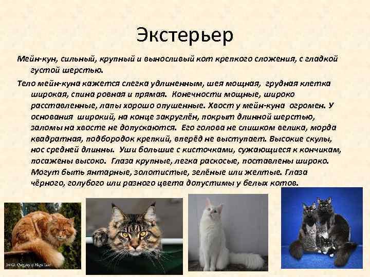 Экстерьер Мейн-кун, сильный, крупный и выносливый кот крепкого сложения, с гладкой густой шерстью. Тело