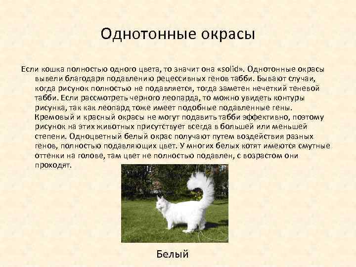 Однотонные окрасы Если кошка полностью одного цвета, то значит она «solid» . Однотонные окрасы