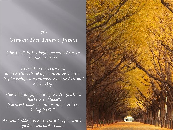 7 th Ginkgo Tree Tunnel, Japan Gingko biloba is a highly venerated tree in