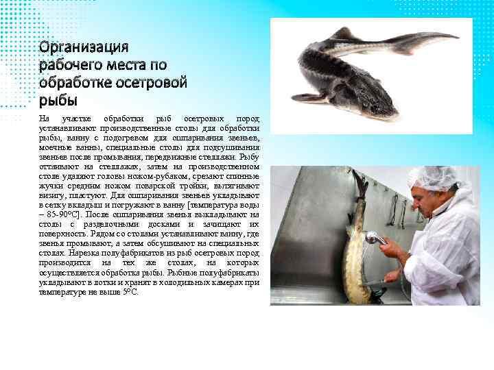 Организация рабочего места по обработке осетровой рыбы На участке обработки рыб осетровых пород устанавливают