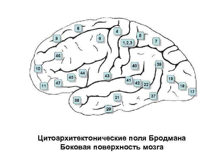 Цитоархитектонические поля Бродмана Боковая поверхность мозга