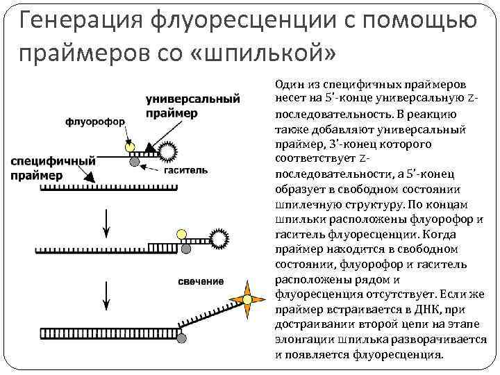 Генерация флуоресценции с помощью праймеров со «шпилькой» Один из специфичных праймеров несет на 5'-конце