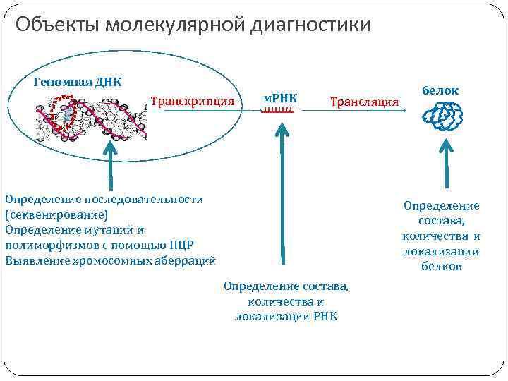 Объекты молекулярной диагностики Геномная ДНК Транскрипция м. РНК Трансляция Определение последовательности (секвенирование) Определение мутаций