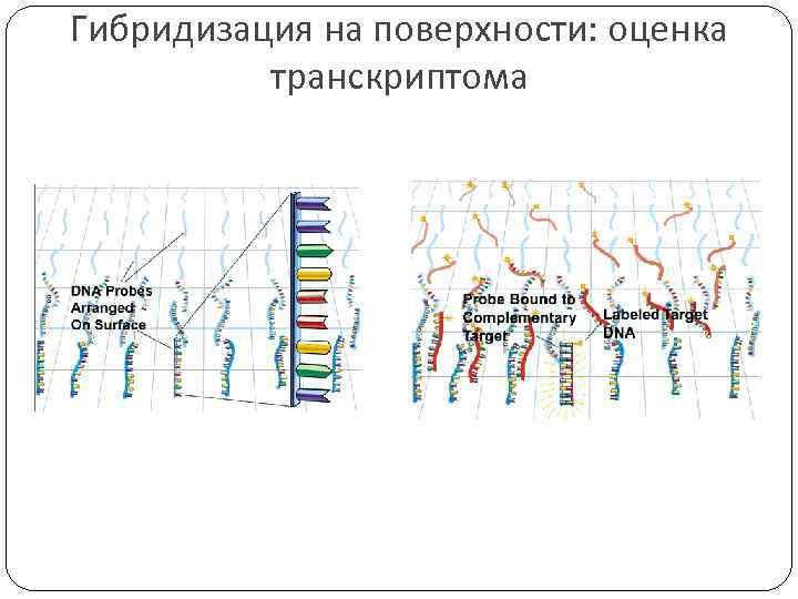 Гибридизация на поверхности: оценка транскриптома