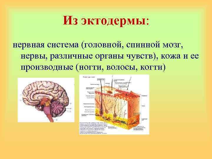 Из эктодермы: нервная система (головной, спинной мозг, нервы, различные органы чувств), кожа и ее