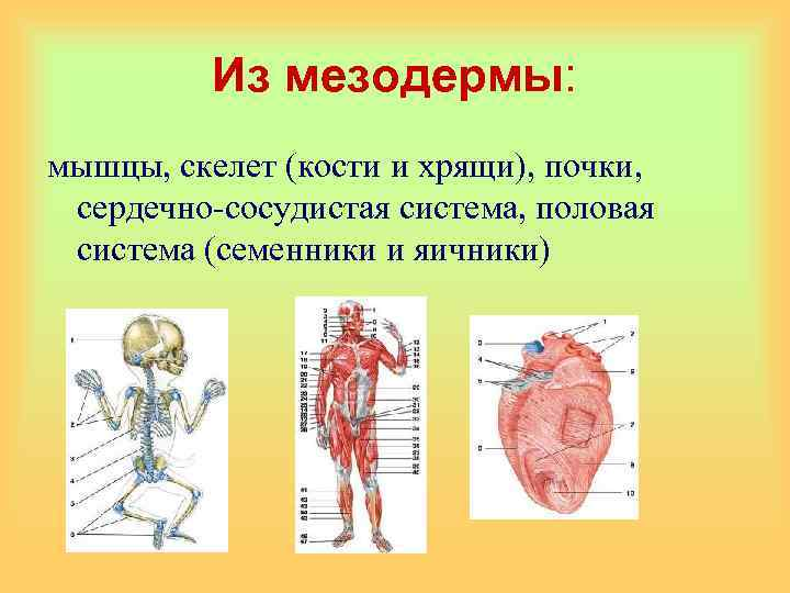 Из мезодермы: мышцы, скелет (кости и хрящи), почки, сердечно-сосудистая система, половая система (семенники и