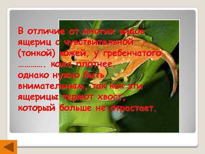 В отличие от многих видов ящериц с чувствительной (тонкой) кожей, у гребенчатого …………. кожа